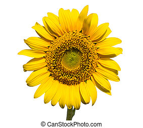 Sunflower on a white background. The bright colors of summer...