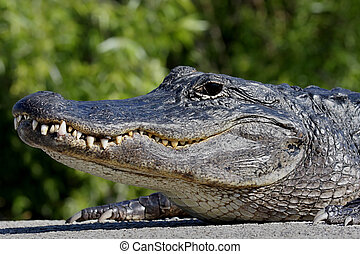 American Alligator Basking in The Sun - American Alligator...
