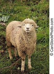 Sheep in a Field - A sheep standing in a farmers field in...