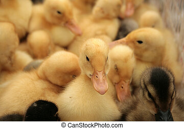 Young Ducklings at the Market - Young Ducklings waiting to...