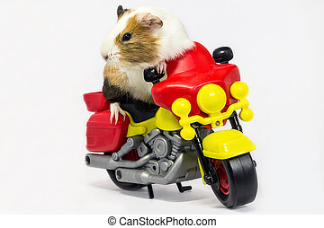 Guinea pig on a motorcycle - A Guinea pig is sitting on a...