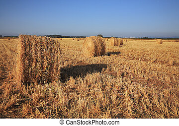 Field after harvest. Sunset - Field after harvest. Rick...