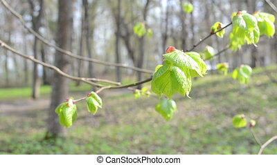 unfolding linden leaf - unfolding linden lime tree bud leaf...
