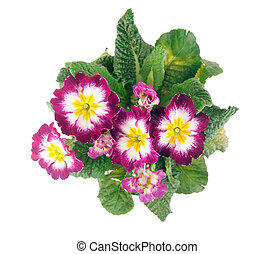 primrose top view - top view of tricolor hybrid primrose...