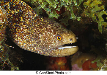 Goldentail Moray - Bonaire - Goldentail Moray (Gymnothorax...