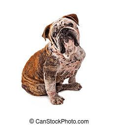 Bulldog, piel, enfermedad