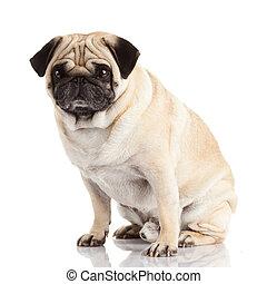 branca,  Pug, cão, fundo, isolado