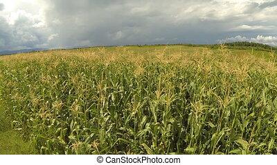 Aerial of cornfield