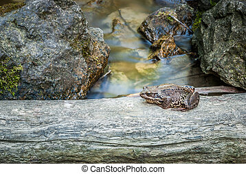 frog on the phylum in the creek with rocks