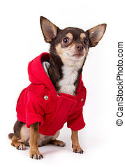 chihuahua dog with coat - chihuahua dog with red coat