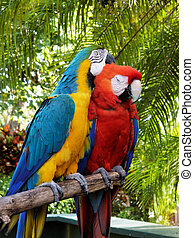 Love Birds - Bonded pair of macaws cudding up.
