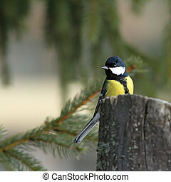 great tit in spruce forest - great tit ( parus major )...
