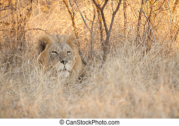 Male Lion Hiding in the Grass - A male lion in the warm,...