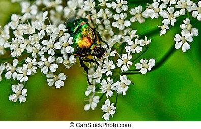Chafer beetle on flowering plants of meadows