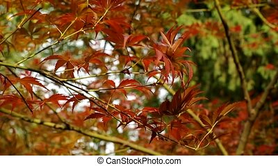maple leaf moving in autumn wind