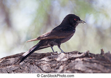 Fork-tailed Drongo - Wild Birds from Africa, Namibia