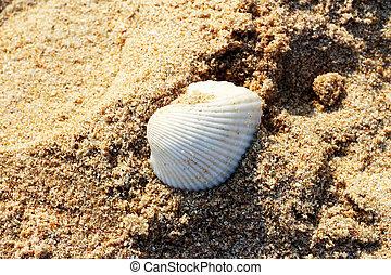 Shell on sand beach.