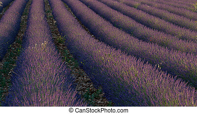 Lavender - Field of Lavender forming a line from bottom to...