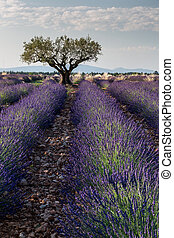 Lavender fields in vertical position - Typical vertical...