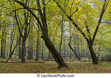 Old hornbeam trees in fall - Old bent hornbeam trees in...
