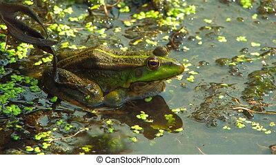 Green marsh frog.