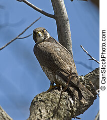 Peregrine Falcon on Tree Branch - Banded Peregrine falcon...