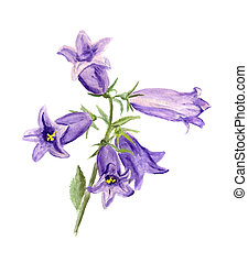 Cultivated bluebell - Watercolor image of cultivated...