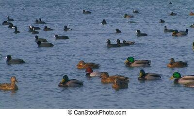 Ducks in the sea.