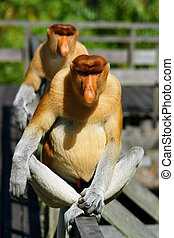 Proboscis monkey - Close up of proboscid monkey in Malaysia