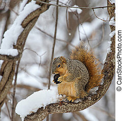 Fox Squirrel in a Tree - Fox squirrel, Sciurus niger, on a...