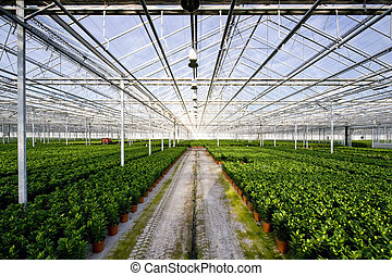 Glasshouse - The endless rows of potted plants in a huge...