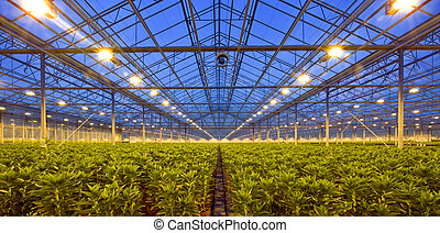 Glasshouse at dusk - A glasshouse, growing lilies, at dusk,...