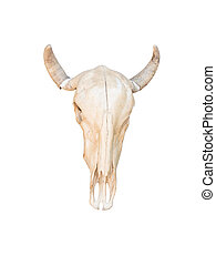 Cow skull with horns