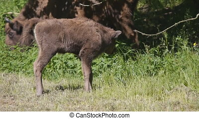 Bison calf walking up to other biso - Young European bison...