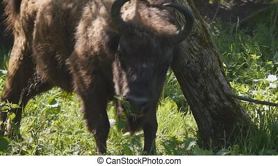 Bison scratching his back on a tree - European bison who is...