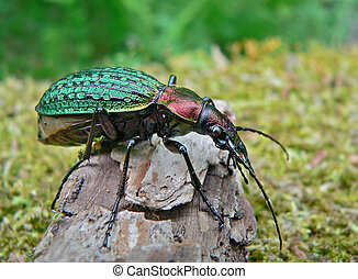 Beetle Schrencks Carabus - Close up of a rare beetle...