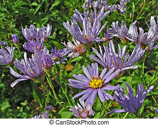 Flowers with Drops of Dew - Asters (Aster tataricus) on the...