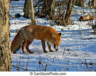 Red Fox 19 - The red fos is eating a mouse. Winter, snow,...