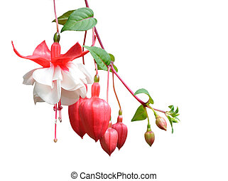 fuchsia lena flower isolated on white