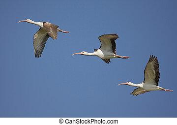 White Ibis (Eudocimus albus) - Flock of immature White Ibis...