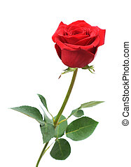 red rose - Single  red rose isolated on white background