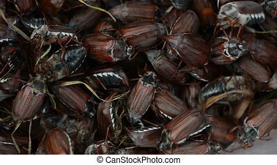 brown chafer crawling - dark brown large cockchafer chafer...