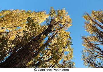Autumn trees reaching for the blue sky