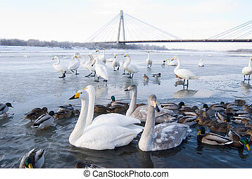 Swans and ducks in the river, winter, Hokkaido, north of...