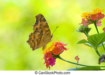 Yellow Brush-footed butterflies Polygonia c-aureum lunulata...