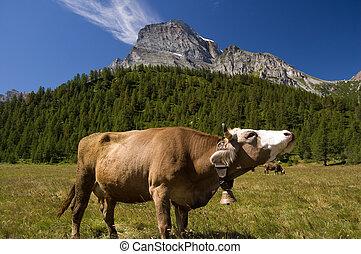 Alpe Veglia mountain pasture - Cow in Alpe Veglia italian...