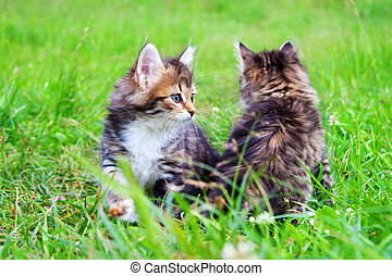 beautiful kittens plays in a green grass - the fluffy...