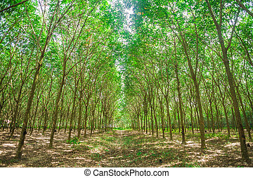 Row of para rubber trees, sun light