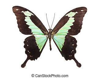 Butterfly Papilio Palinurus - Beautiful tropical butterfly...