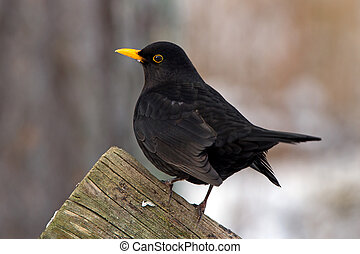 Blackbird - A male Common Blackbird (Turdus merula) also...